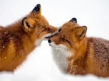 镜头下的雪中狐