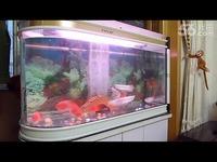 合集 红鹦鹉鱼和银龙鱼吃泥鳅-红鹦鹉鱼_1717