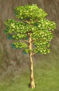 印度轻木树